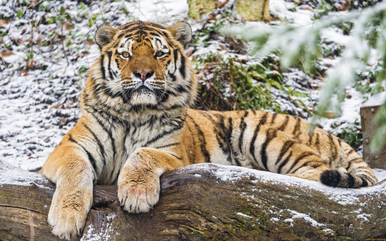 лишь картинки про амурские тигры отличное место для